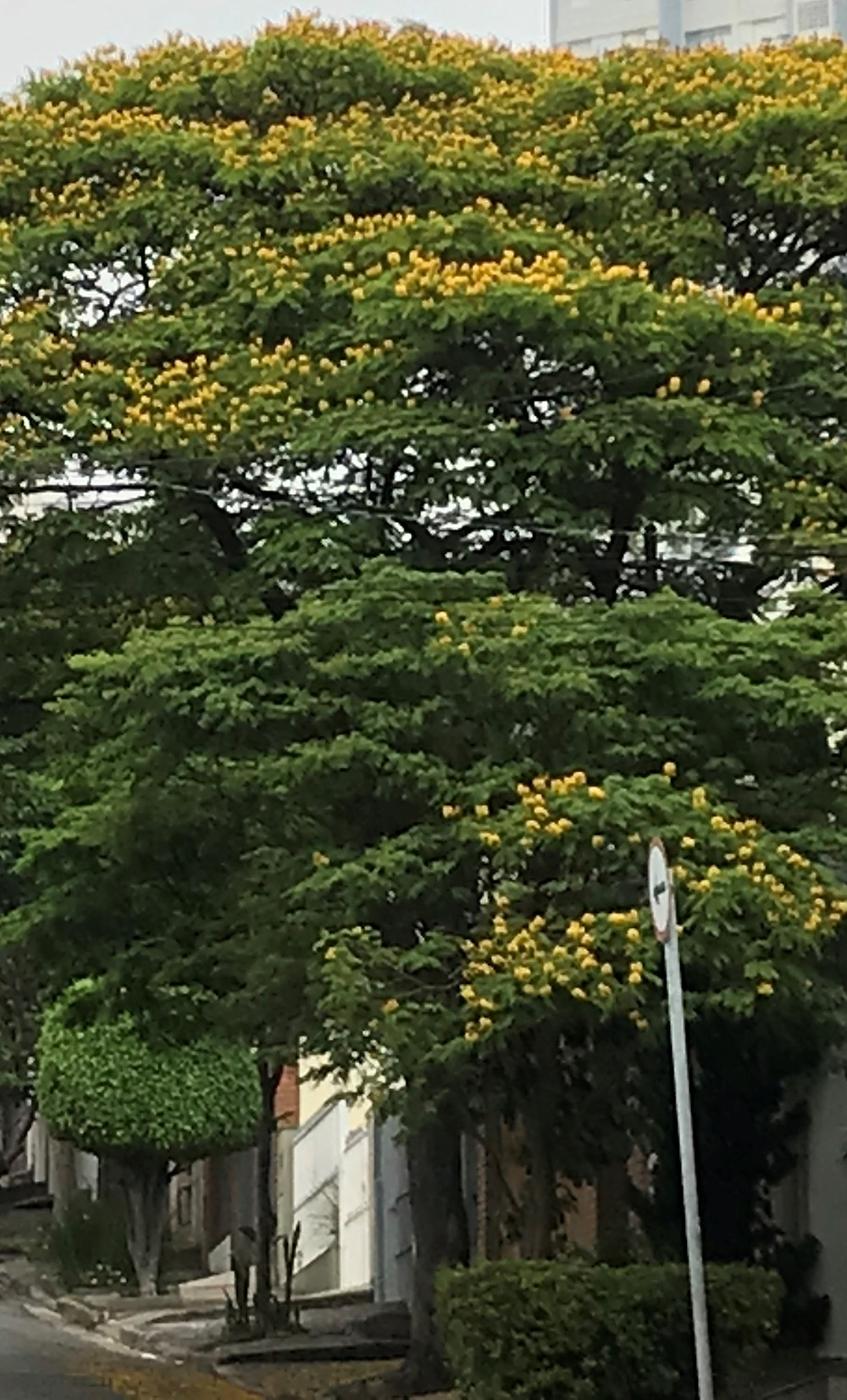 Início da florada de 2018 da Sibipiruna