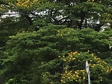 Amarelo e Laranja – Início das Floradas das Sibipirunas e Tipuanas