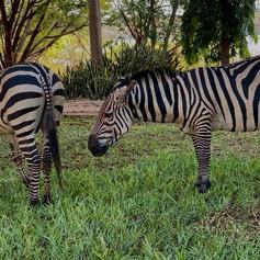 Cebras en los jardines del Hilltop Hotel de Kigoma, Tanzania