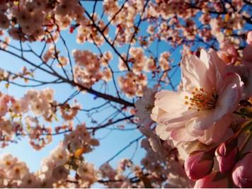 北海道的五月櫻