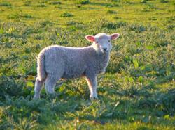 Iona lamb