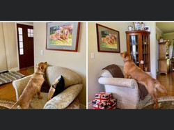 New Goldens looking at beloved brothers