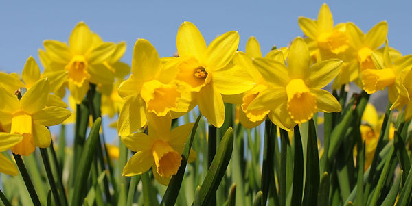 daffodil-shortage-mild-weather-155108461