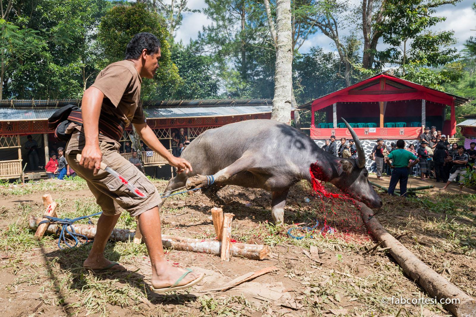 Sulawesi funeral in Tana Toraja