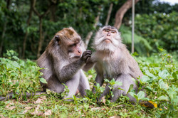Grooming monkey indonesia