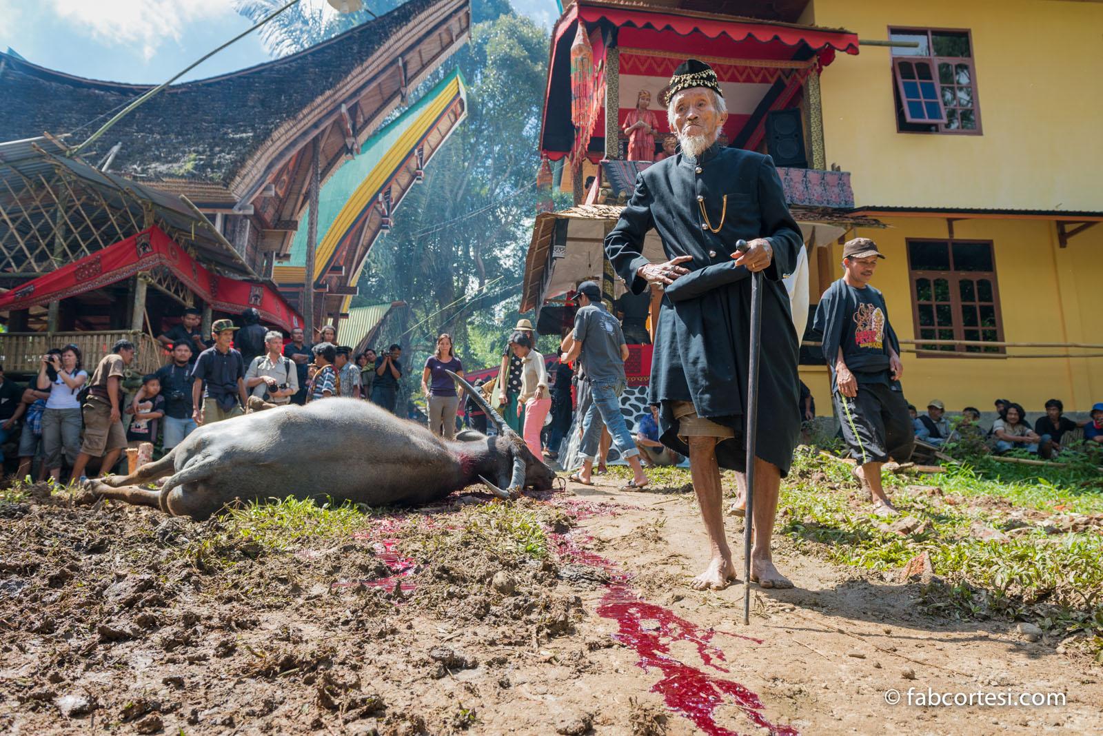 Buffalo sacrifice sulawesi