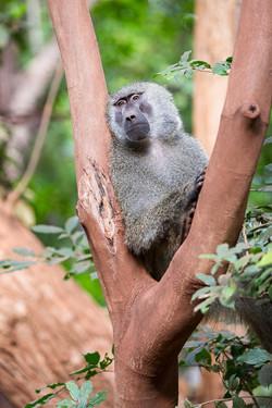 Baboon tanzania africa