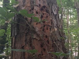 ALERT: Pine Beetle Infestation!