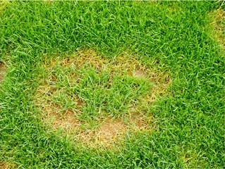 ALERT: Grass Fungus