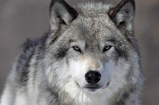 Wolf_Square.jpg