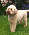UK Breeders of Australian Labradoodles exporting to Europe, Holland, Germany, France, Spain, Portugal, Finland and Worldwide