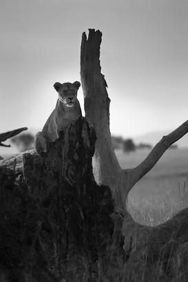 lion log.JPG