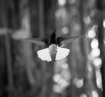 Hummingbird3.JPG