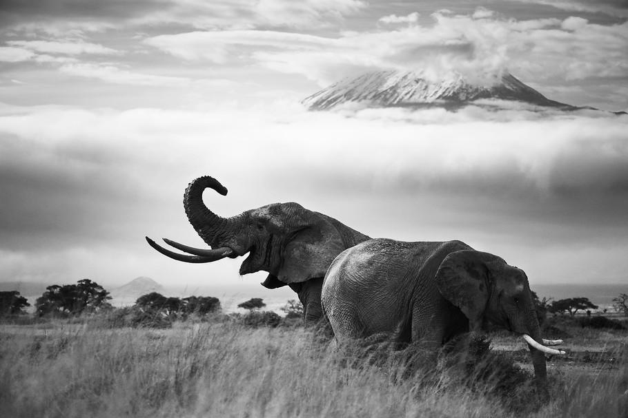 Ele kilimanjaro B&W.jpg