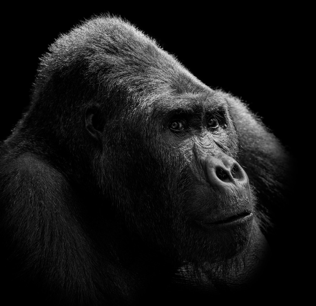 NEW Gorilla Portrait BW.jpg