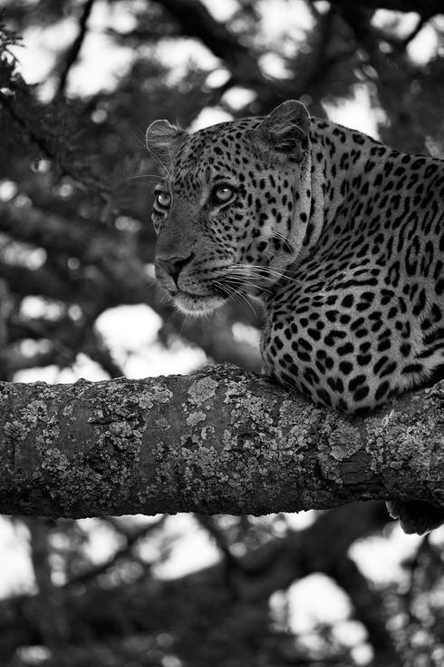 Leopard glint BW.JPG