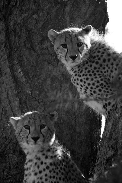 Cheetah BW 3.JPG