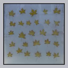 Real Maple leaves Laminate