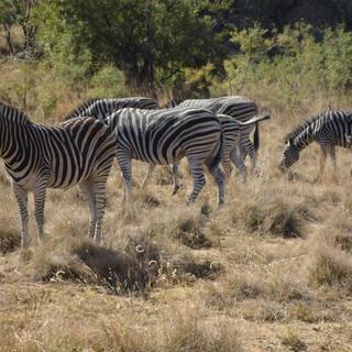 """Zebras"" - Nelspruit, South Africa"