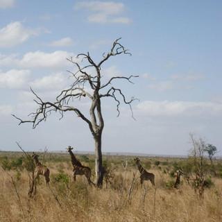"""""""Family Of Giraffes"""" - Nelspruit, South Africa"""