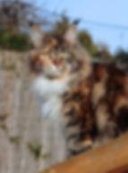 femelle maine coon écaille et blanc