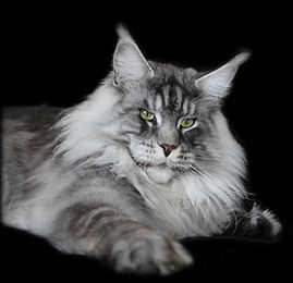 Maine Coon of Stella Shine, élevage Suisse