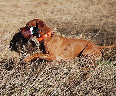 CsiVizsla Retrieve Pheasant.jpg