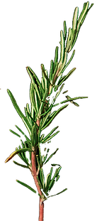 rosemary%20leaves_edited.png