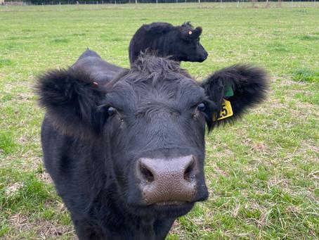 Fat happy cattle