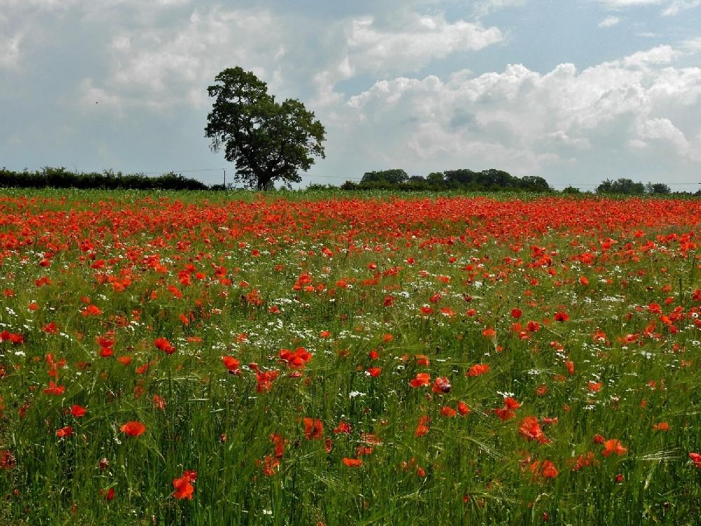 Eden Valley Poppies