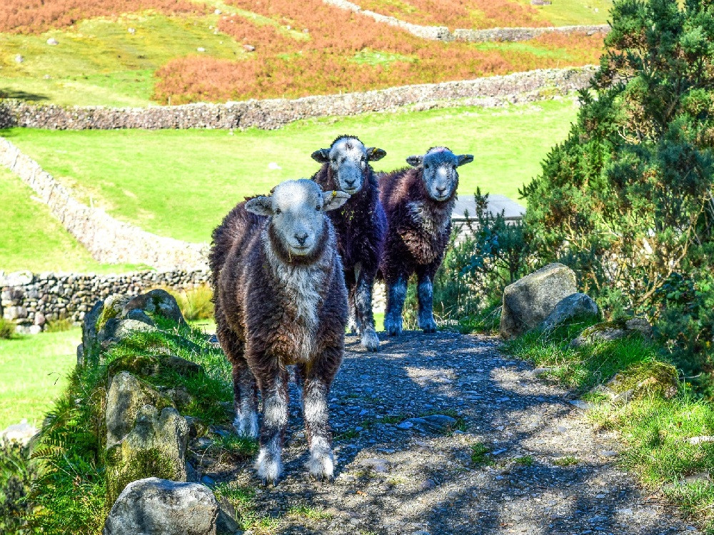 The Three Herdy's