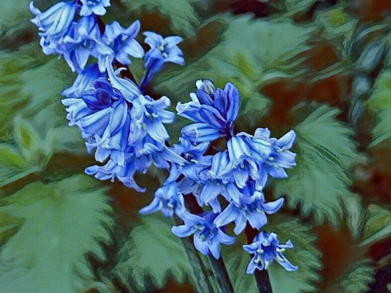 Painted Bluebells