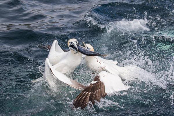 Gannets fighting over mackerel
