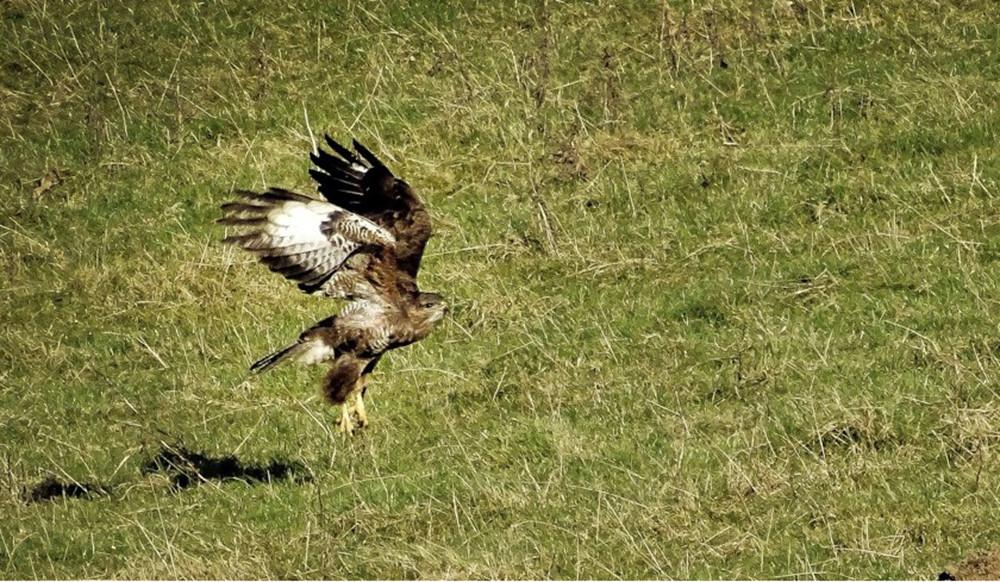 Buzzard taking off