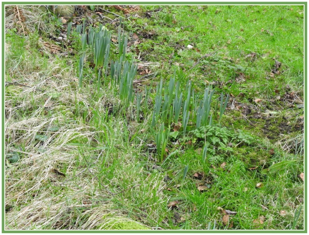Daffodils are getting there