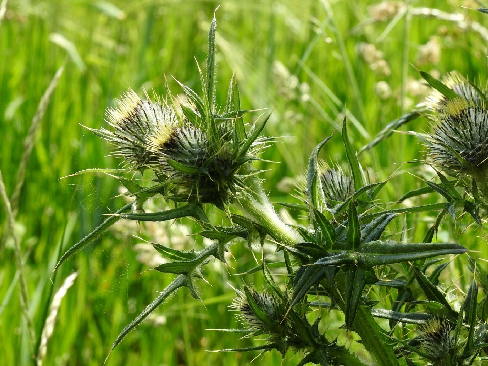 Thistle in Green