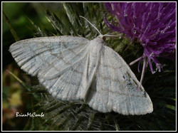 COMMON WAVE MOTH ON THISTLE