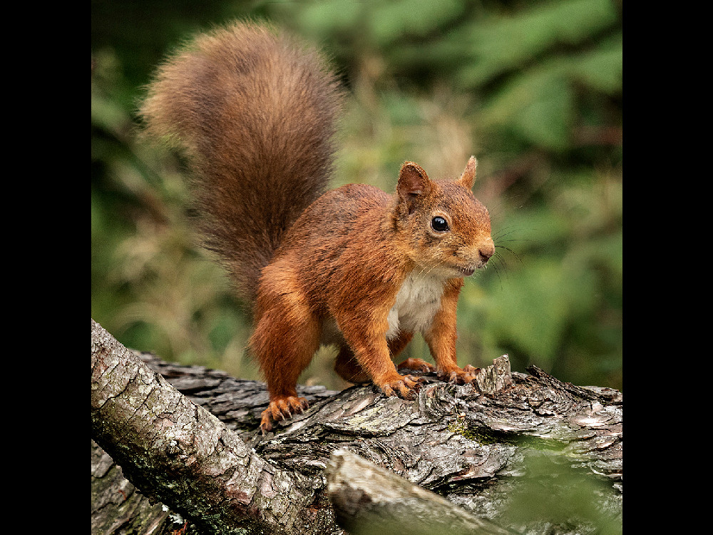 RED SQUIRREL ON LOG
