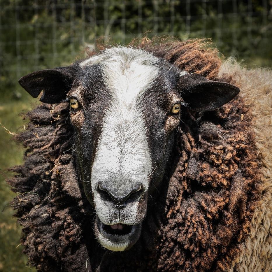 Woolly