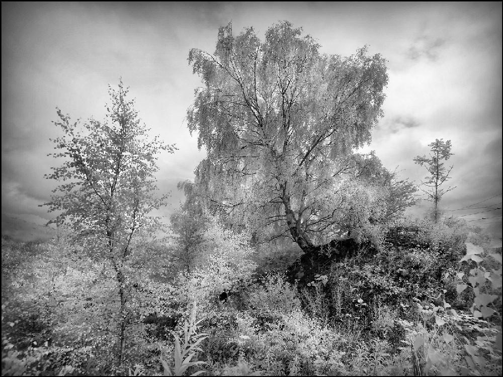 Beamish tree