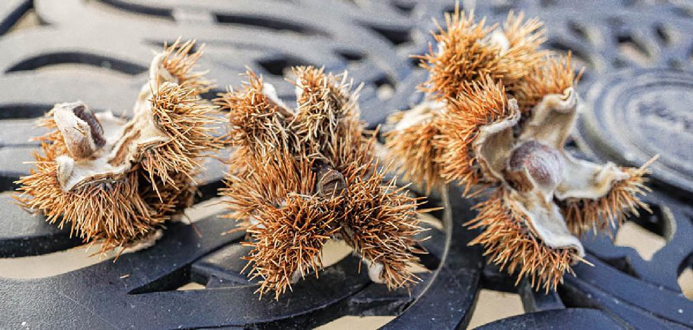Sweet Chestnut Casings