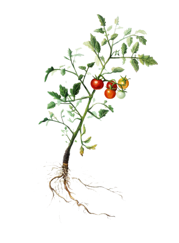 tomatoplant.png