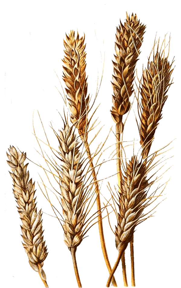 wheatsmall.png