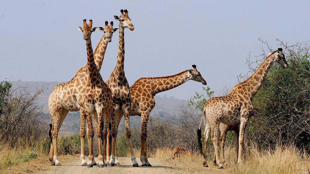 Tierbilder_Giraffe.jpg