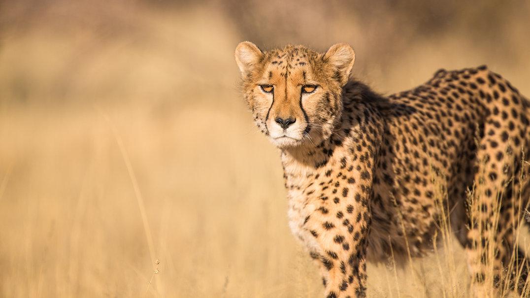 Tierbilder_Gepard.jpg