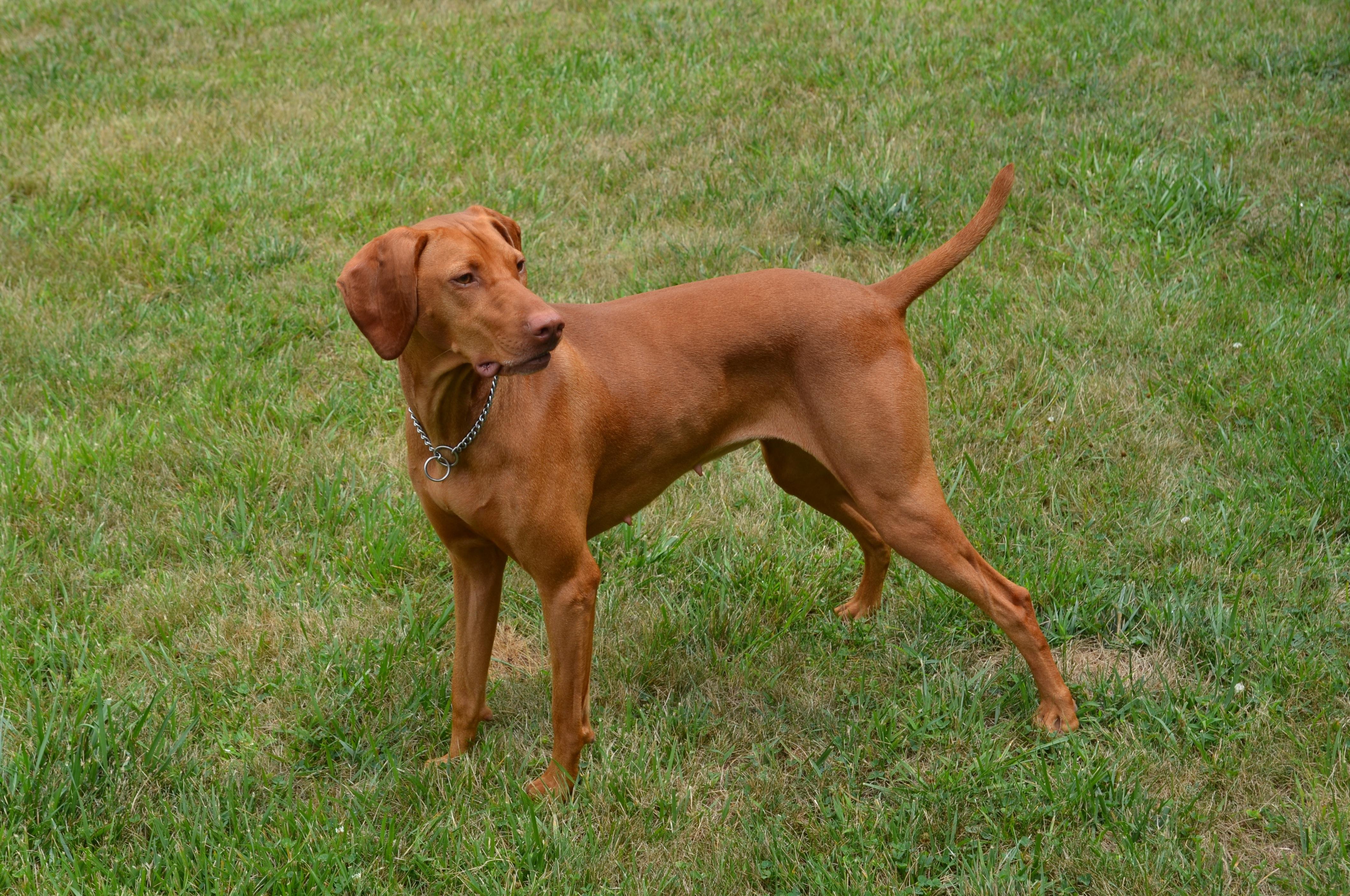 Kutya Kennels - Vizsla Puppies in Massachusetts and ILlinois