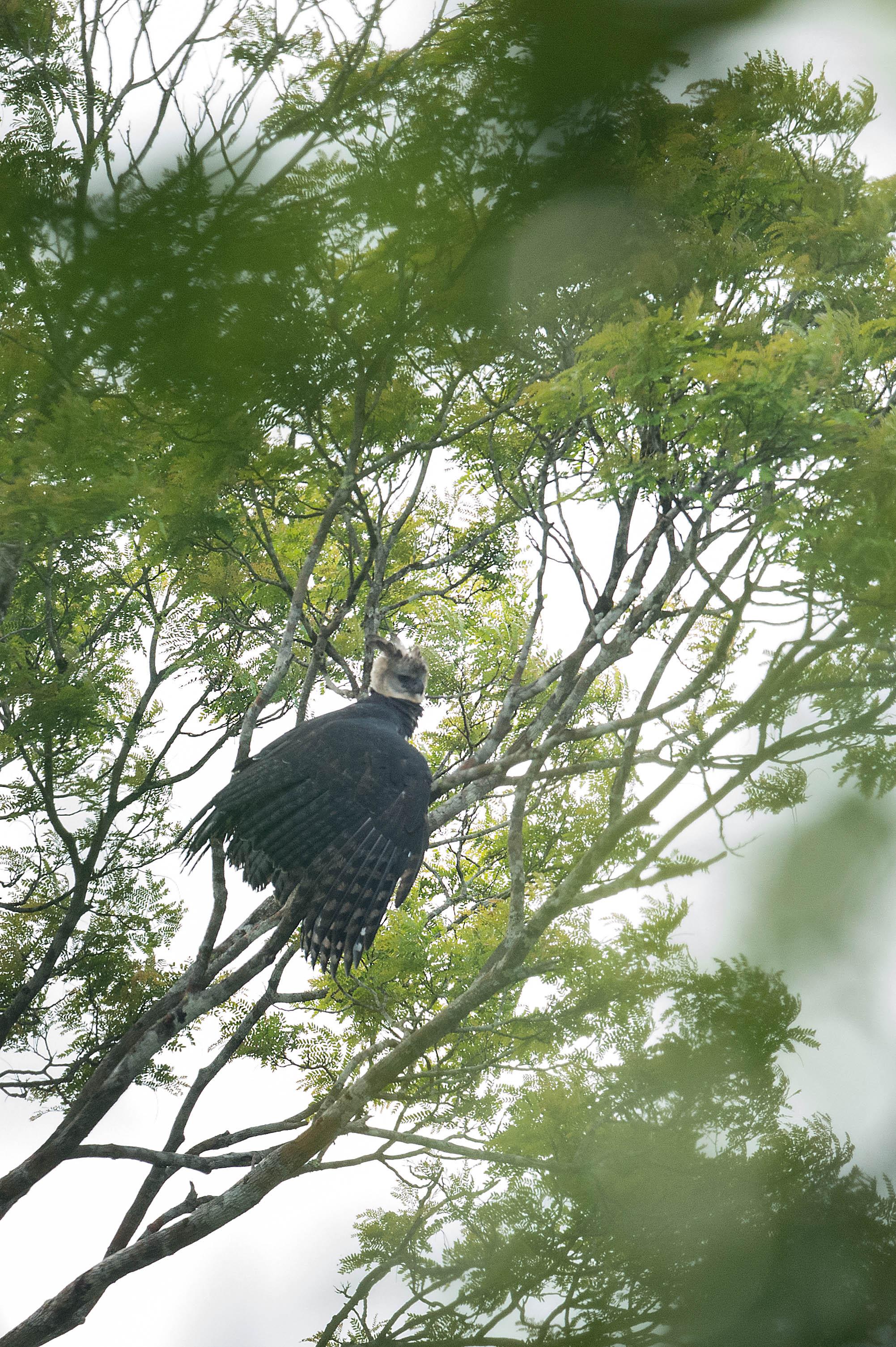 Harpy Eagle 3.jpg