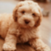 Kristoff | Heart Rock Labradoodles | Male Labradoodles in Austin Texas