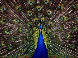 peacock-1868_1280.jpg