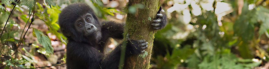 Baby Gorilla klein.jpg